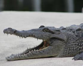 Amarican Saltwater Crocodile Islamorada Eco-tour
